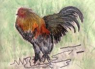 cockerel A