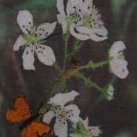 'Blackberry Blossom' - Wendy Fleckner